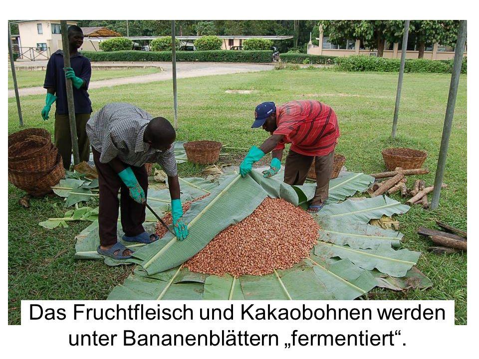 Das Fruchtfleisch und Kakaobohnen werden unter Bananenblättern fermentiert.