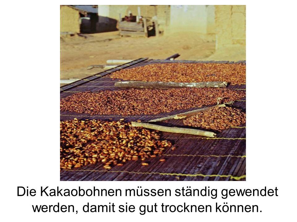 Die Kakaobohnen müssen ständig gewendet werden, damit sie gut trocknen können.