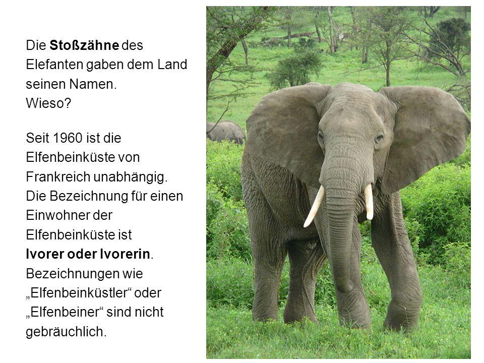 Die Stoßzähne des Elefanten gaben dem Land seinen Namen. Wieso? Seit 1960 ist die Elfenbeinküste von Frankreich unabhängig. Die Bezeichnung für einen