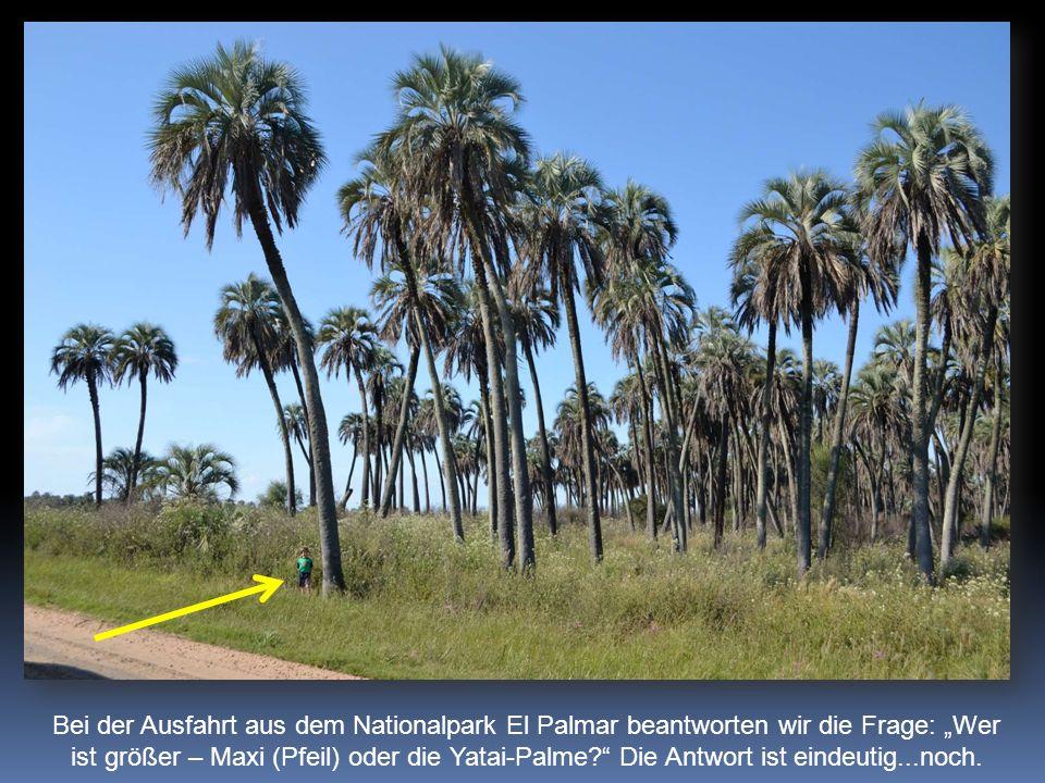 Bei der Ausfahrt aus dem Nationalpark El Palmar beantworten wir die Frage: Wer ist größer – Maxi (Pfeil) oder die Yatai-Palme.