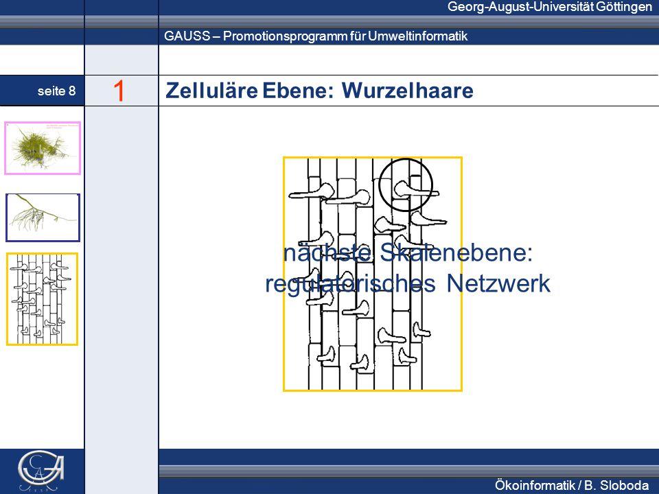 GAUSS – Promotionsprogramm für Umweltinformatik Georg-August-Universität Göttingen seite 8 Ökoinformatik / B. Sloboda Zelluläre Ebene: Wurzelhaare näc