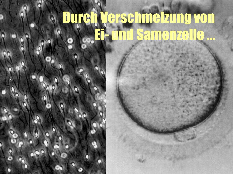 Durch Verschmelzung von Ei- und Samenzelle …