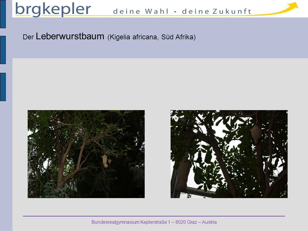 Bundesrealgymnasium Keplerstraße 1 – 8020 Graz – Austria Der Leberwurstbaum (Kigelia africana, Süd Afrika)