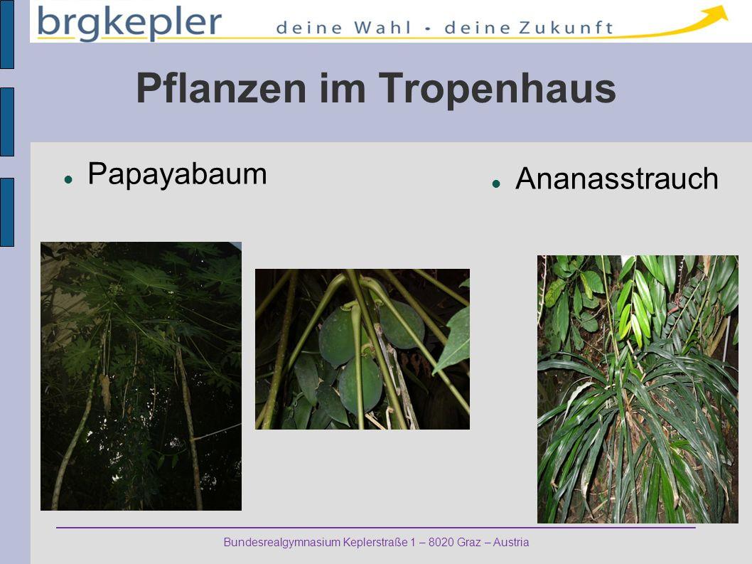 Bundesrealgymnasium Keplerstraße 1 – 8020 Graz – Austria Pflanzen im Tropenhaus Papayabaum Ananasstrauch