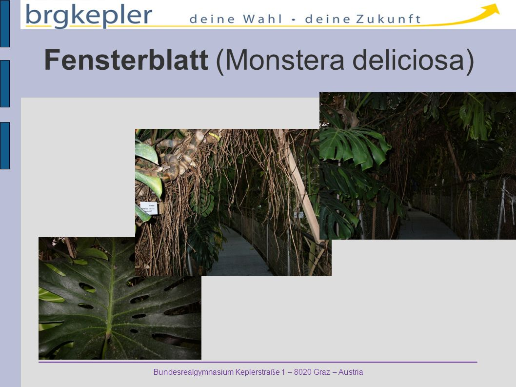 Bundesrealgymnasium Keplerstraße 1 – 8020 Graz – Austria Fensterblatt (Monstera deliciosa)