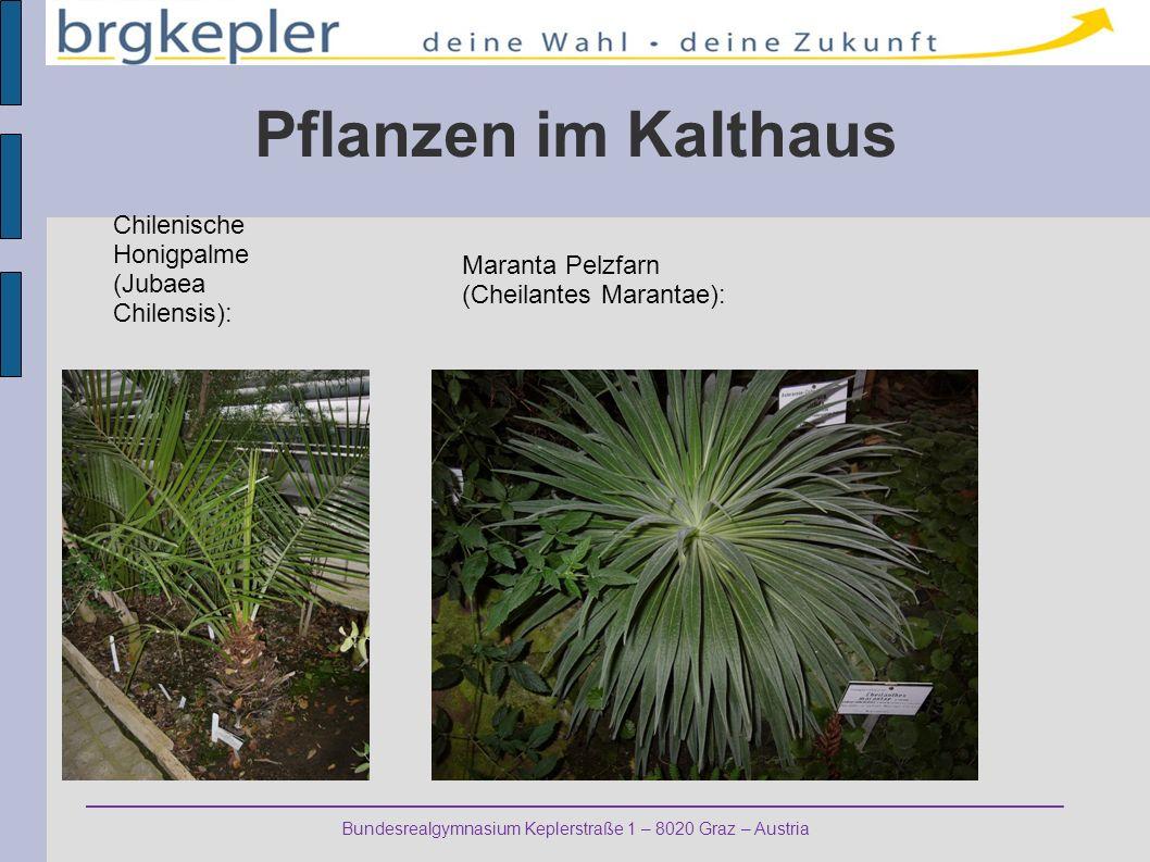 Bundesrealgymnasium Keplerstraße 1 – 8020 Graz – Austria Pflanzen im Kalthaus Chilenische Honigpalme (Jubaea Chilensis): Maranta Pelzfarn (Cheilantes