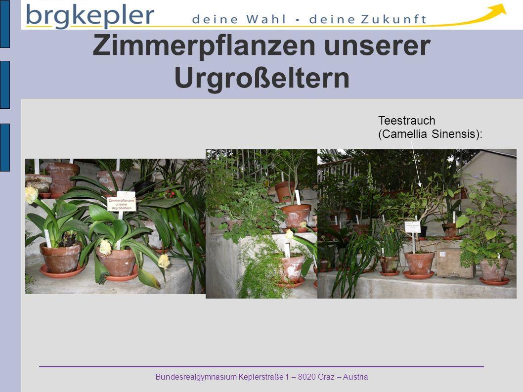 Bundesrealgymnasium Keplerstraße 1 – 8020 Graz – Austria Zimmerpflanzen unserer Urgroßeltern Teestrauch (Camellia Sinensis):