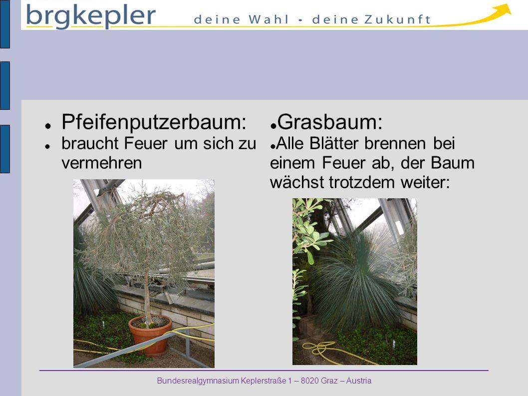 Bundesrealgymnasium Keplerstraße 1 – 8020 Graz – Austria Pfeifenputzerbaum: braucht Feuer um sich zu vermehren Grasbaum: Alle Blätter brennen bei einem Feuer ab, der Baum wächst trotzdem weiter: