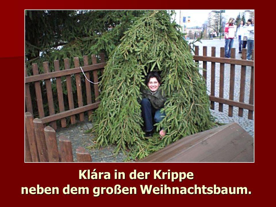 Klára in der Krippe neben dem großen Weihnachtsbaum.