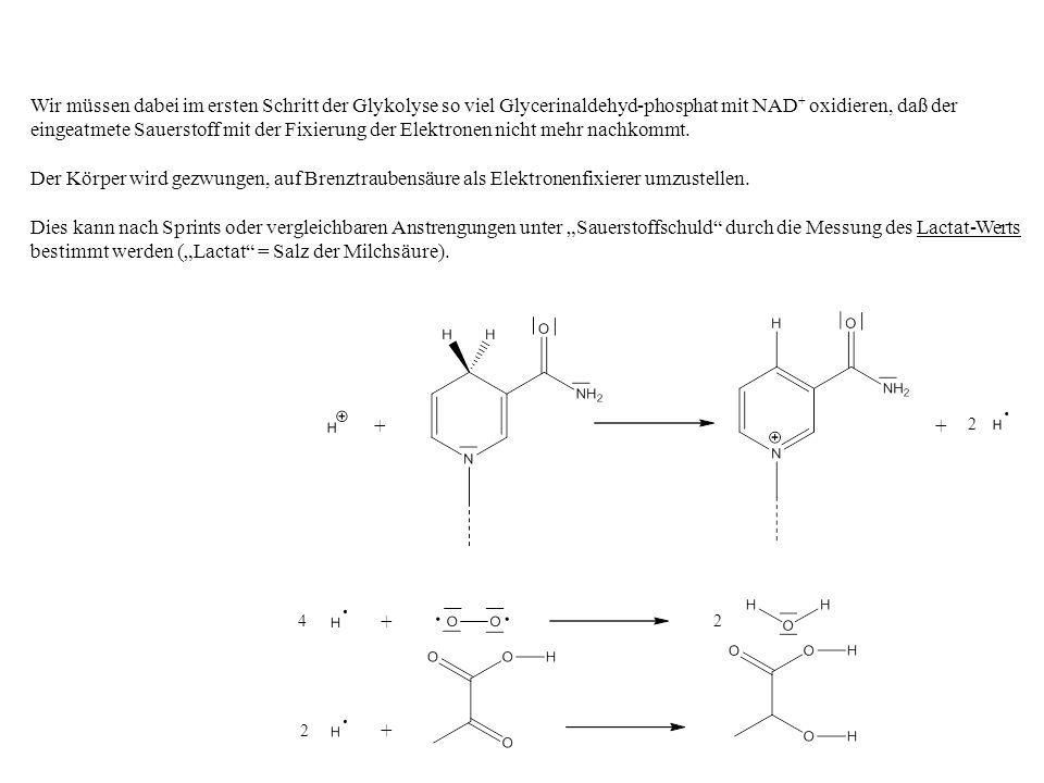 2 2 ++ 4 + + 2 Wir müssen dabei im ersten Schritt der Glykolyse so viel Glycerinaldehyd-phosphat mit NAD + oxidieren, daß der eingeatmete Sauerstoff mit der Fixierung der Elektronen nicht mehr nachkommt.