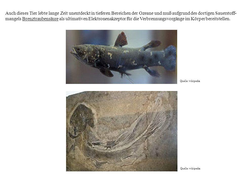 Auch dieses Tier lebte lange Zeit unentdeckt in tieferen Bereichen der Ozeane und muß aufgrund des dortigen Sauerstoff- mangels Brenztraubensäure als ultimativen Elektronenakzeptor für die Verbrennungsvorgänge im Körper bereitstellen.