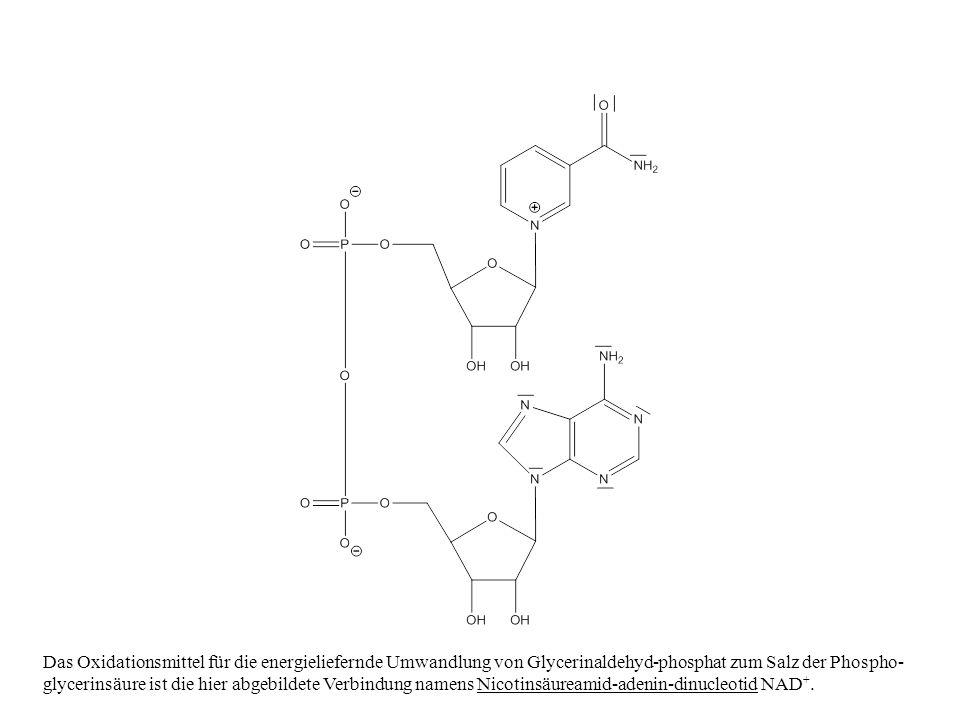 Das Oxidationsmittel für die energieliefernde Umwandlung von Glycerinaldehyd-phosphat zum Salz der Phospho- glycerinsäure ist die hier abgebildete Verbindung namens Nicotinsäureamid-adenin-dinucleotid NAD +.