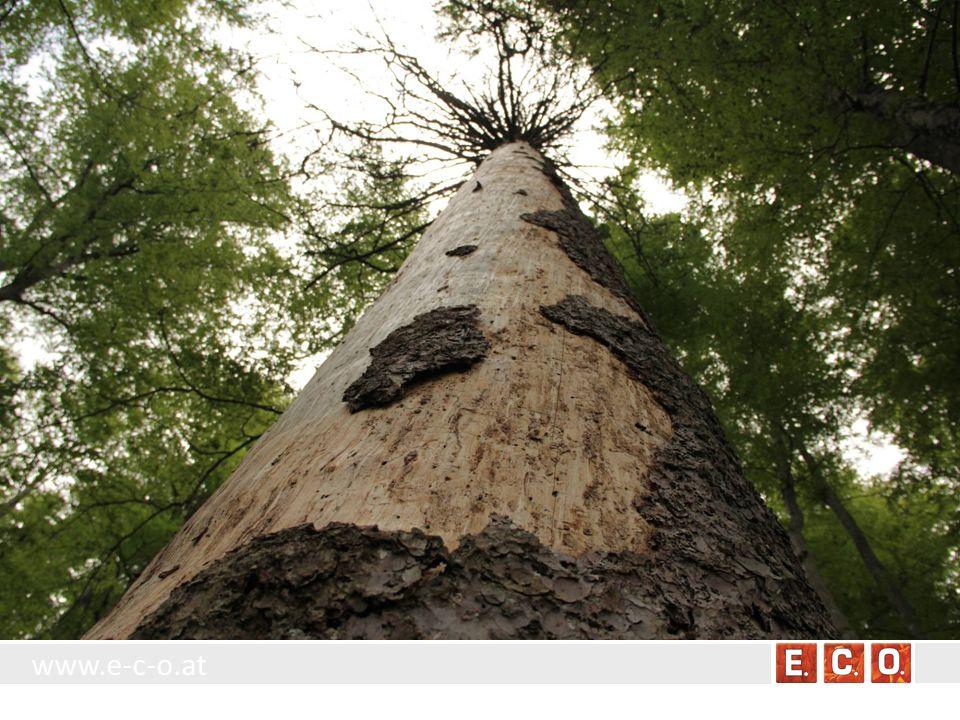 www.e-c-o.at BT 8.4.1.5 Kopfbaum Standort: An feuchten bis vernässten Standorten oder entlang von Bächen und Gräben sowie am Rand von Stillgewässern.