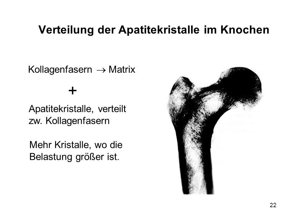 22 Verteilung der Apatitekristalle im Knochen Apatitekristalle, verteilt zw. Kollagenfasern Kollagenfasern Matrix + Mehr Kristalle, wo die Belastung g