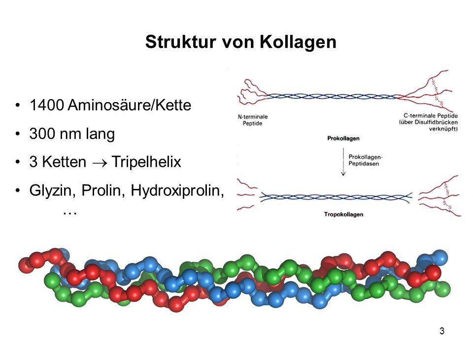 3 Struktur von Kollagen 1400 Aminosäure/Kette 300 nm lang 3 Ketten Tripelhelix Glyzin, Prolin, Hydroxiprolin, …