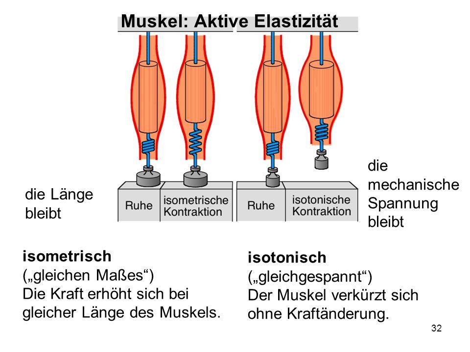 32 die Länge bleibt die mechanische Spannung bleibt isotonisch (gleichgespannt) Der Muskel verkürzt sich ohne Kraftänderung. isometrisch (gleichen Maß