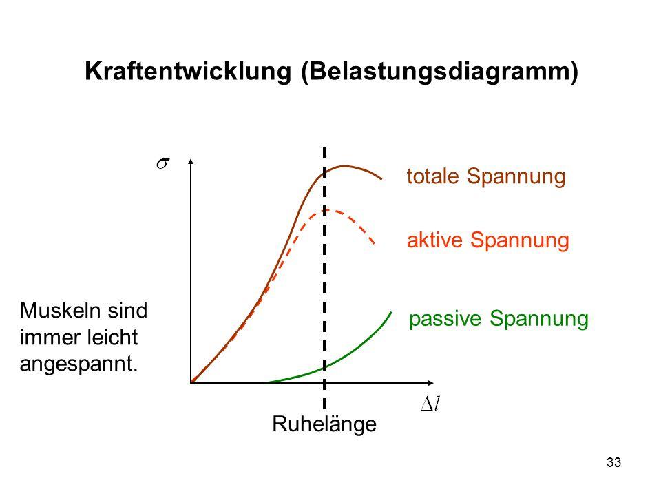 33 Kraftentwicklung (Belastungsdiagramm) passive Spannung aktive Spannung totale Spannung Ruhelänge Muskeln sind immer leicht angespannt.