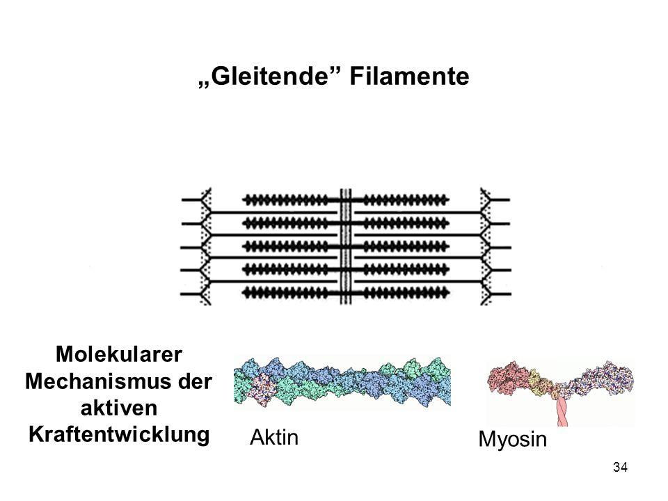 34 Gleitende Filamente Molekularer Mechanismus der aktiven Kraftentwicklung Aktin Myosin