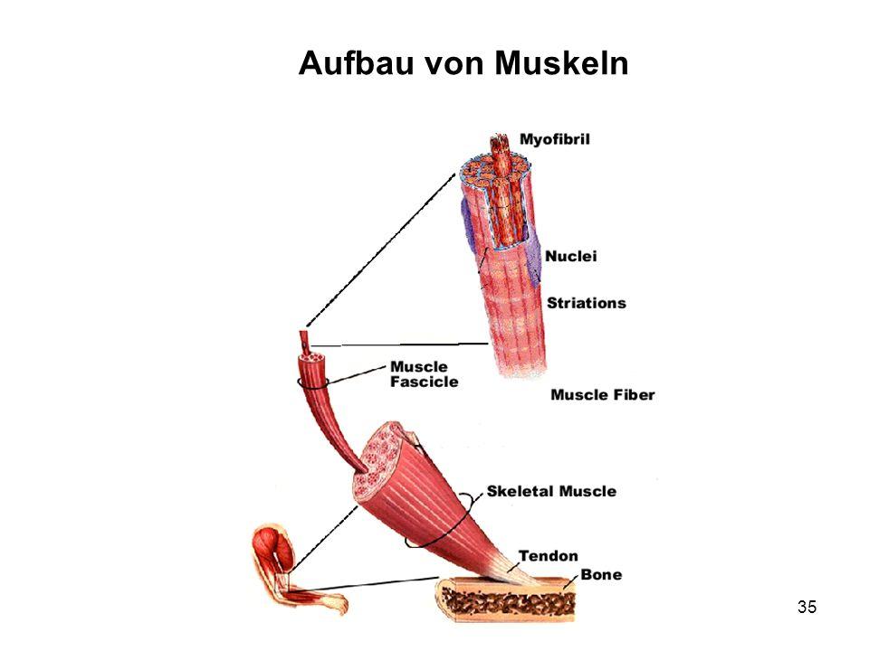 35 Aufbau von Muskeln