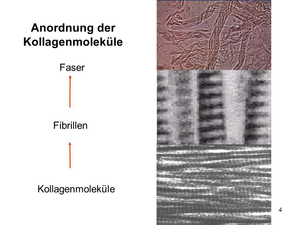 4 Anordnung der Kollagenmoleküle Kollagenmoleküle Fibrillen Faser