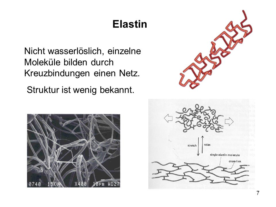 7 Elastin Nicht wasserlöslich, einzelne Moleküle bilden durch Kreuzbindungen einen Netz. Struktur ist wenig bekannt.