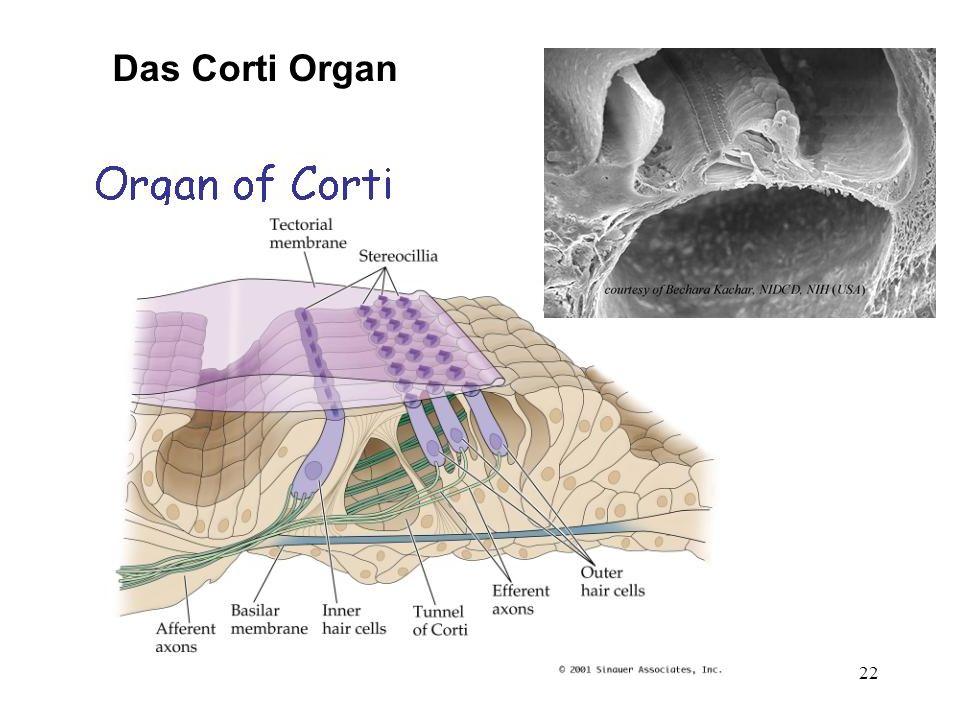 22 Das Corti Organ