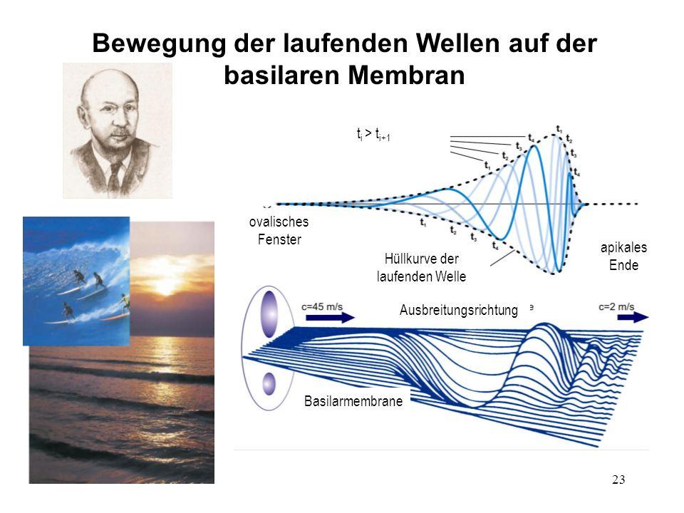 23 Bewegung der laufenden Wellen auf der basilaren Membran Basilarmembrane ovalisches Fenster apikales Ende Hüllkurve der laufenden Welle Ausbreitungs