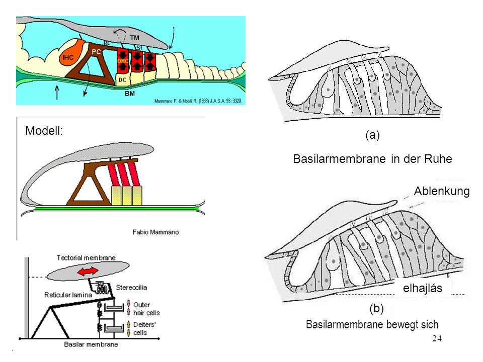 24 Ablenkung (a) (b) elhajlás Modell: Basilarmembrane in der Ruhe Basilarmembrane bewegt sich