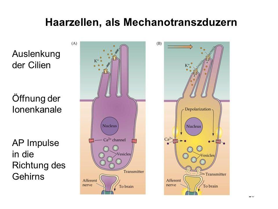 26 Haarzellen, als Mechanotranszduzern Auslenkung der Cilien Öffnung der Ionenkanale AP Impulse in die Richtung des Gehirns