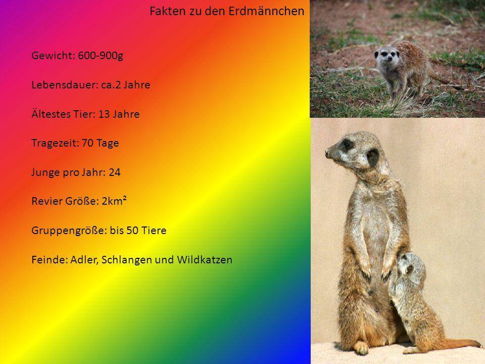 Die Erdmänn chen Inhalt: 1.Fakten zu den Erdmännchen 2.