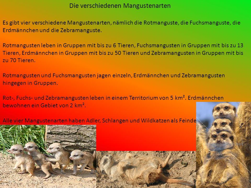 Die verschiedenen Mangustenarten Es gibt vier verschiedene Mangustenarten, nämlich die Rotmanguste, die Fuchsmanguste, die Erdmännchen und die Zebramanguste.