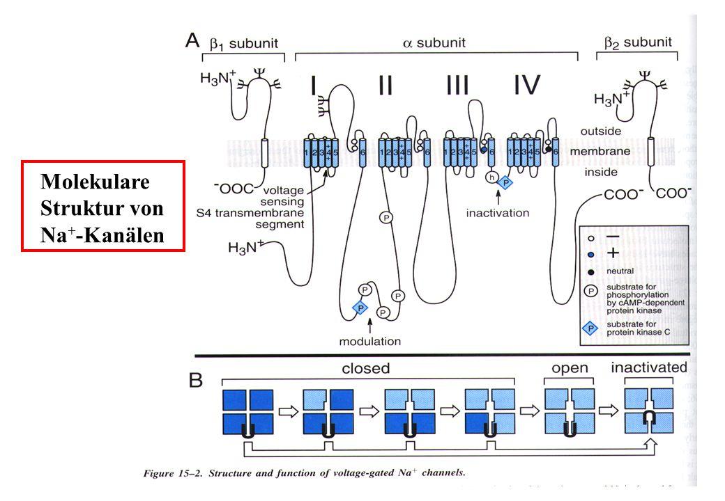 Molekulare Struktur von Na + -Kanälen