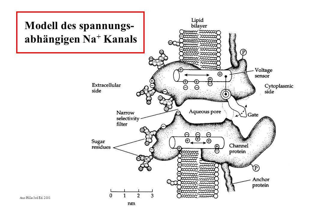 Modell des spannungs- abhängigen Na + Kanals Aus Hille 3rd Ed. 2001