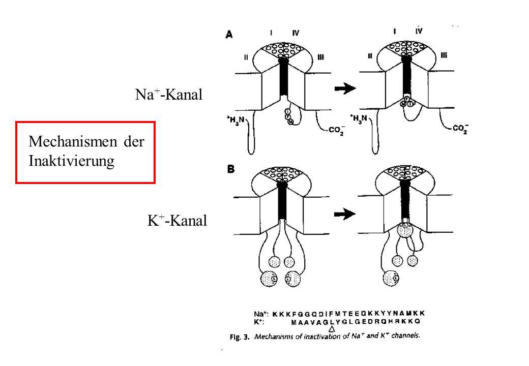 Na + -Kanal K + -Kanal Mechanismen der Inaktivierung