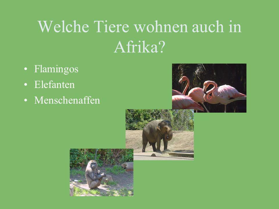 Sie haben ein hellbraunes Fell. Sie kommen aus Afrika. Sie schlafen gern. Sie sind gefährlich! Sie fressen andere Tiere.