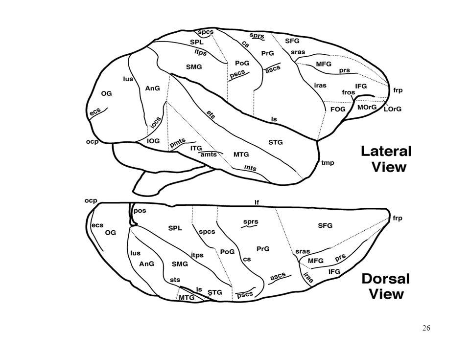 26 Cerebral Cortex