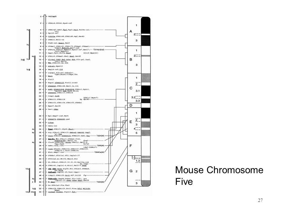 27 Mouse Chromosome Five