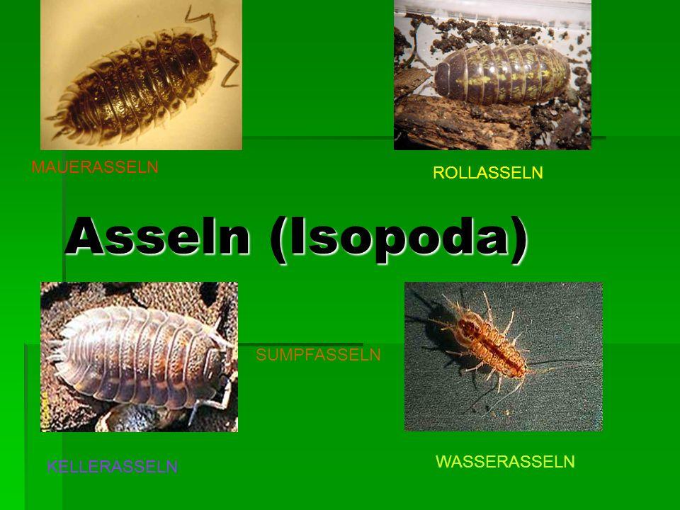 Asseln (Isopoda) Asseln (Isopoda) MAUERASSELN ROLLASSELN KELLERASSELN WASSERASSELN SUMPFASSELN