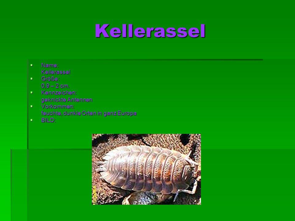 Kellerassel Name: Name: Kellerassel Kellerassel Größe: Größe: 0,9 – 2 cm. 0,9 – 2 cm. Kennzeichen: Kennzeichen: geknickte Antennen geknickte Antennen