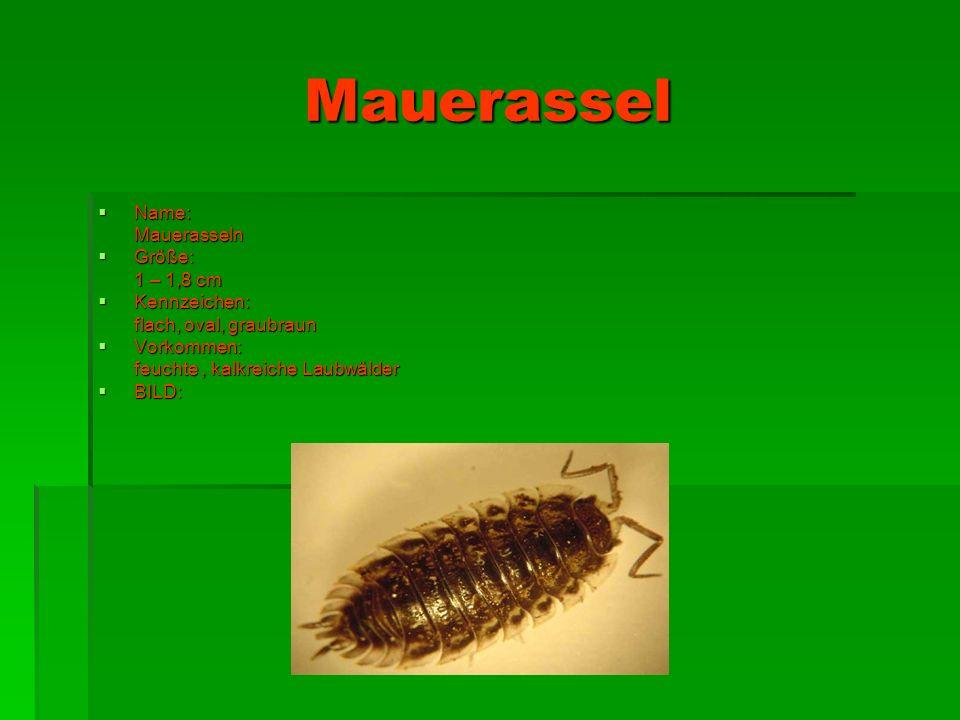 Wasserasseln Name : Wasserasseln Größe : 0,5 – 2,0 cm Kennzeichen : Männchen größer als Weibchen Vorkommen : Wasser BILD :