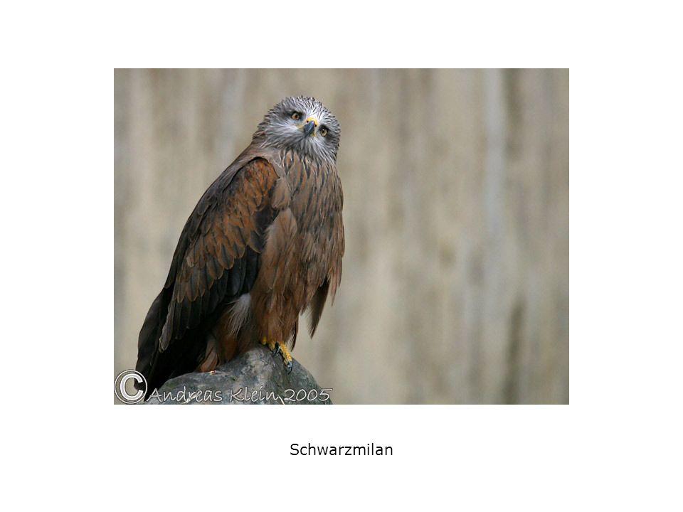Schwarzmilan