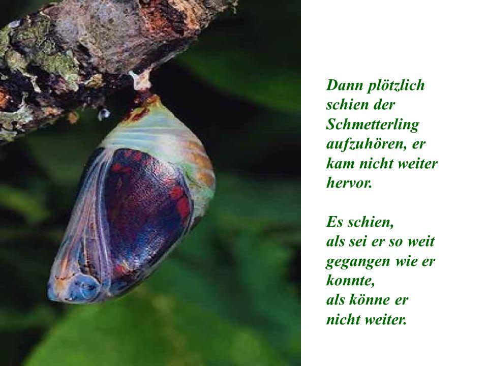 Dann plötzlich schien der Schmetterling aufzuhören, er kam nicht weiter hervor.