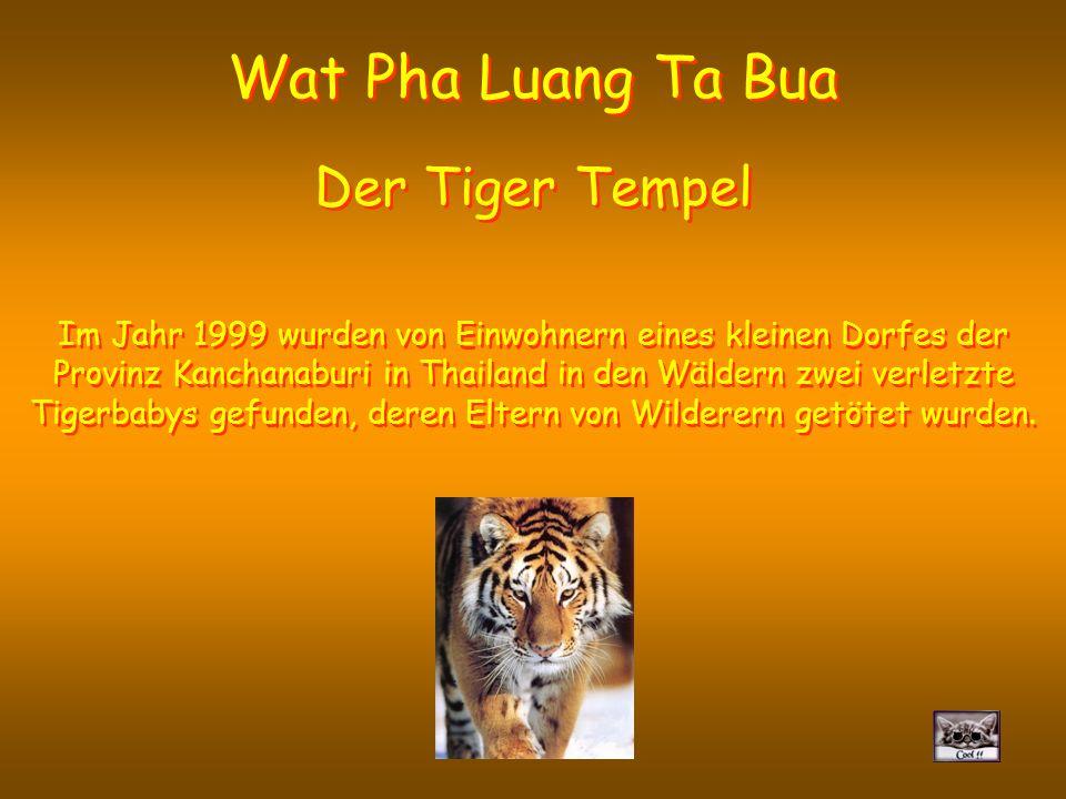 Wat Pha Luang Ta Bua De tijgertempel In 1999 vonden de inwoners van een klein dorpje van de provincie Kanchanaburi in Thailand in het bos twee gewonde tijgerbabies, waarvan de ouders gedood waren door stropers.