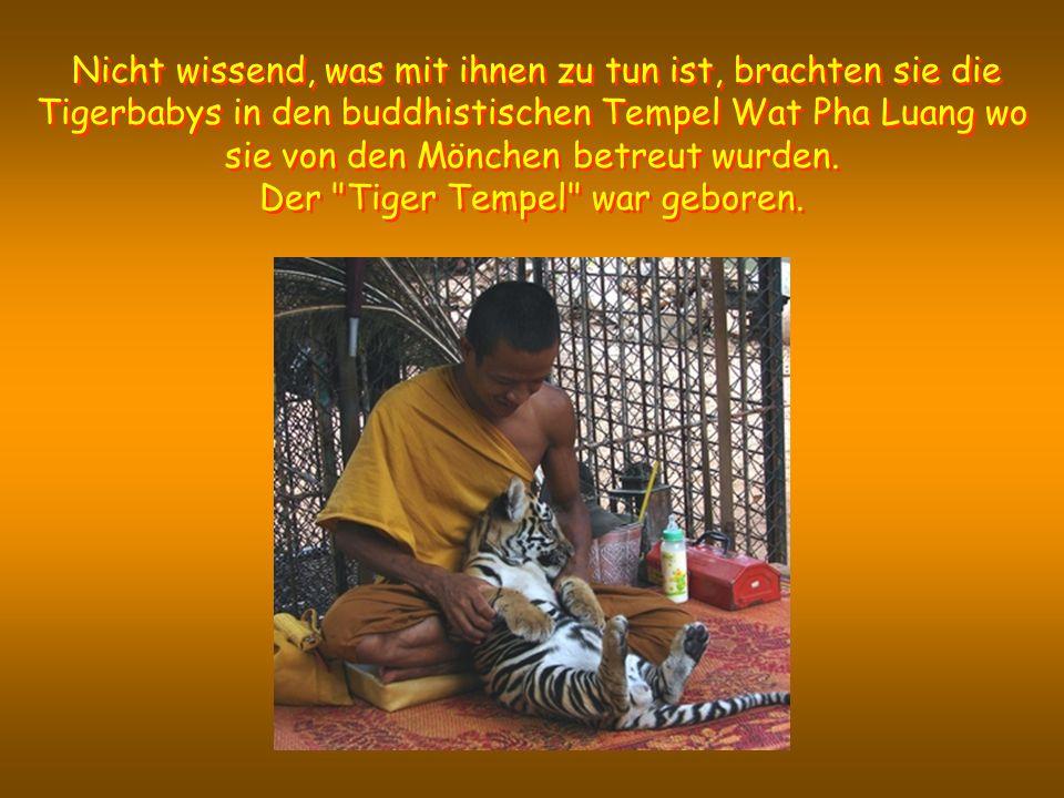 Nicht wissend, was mit ihnen zu tun ist, brachten sie die Tigerbabys in den buddhistischen Tempel Wat Pha Luang wo sie von den Mönchen betreut wurden.