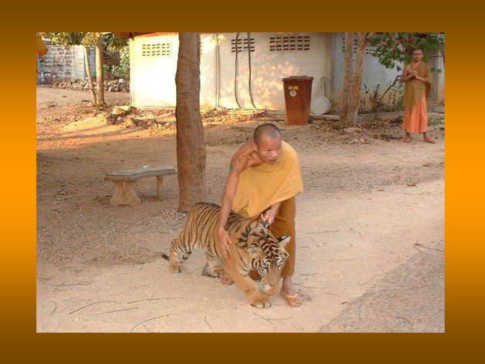 Sindsdien zijn talloze verweesde babytijgertjes naar de tempel gebracht en opgevoed door de monniken. Seitdem wurden zahlreiche verwaiste Tigerbabys z