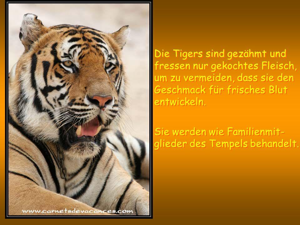De werknemers houden de tijgers onder controle en staan klaar om op te treden wanneer de tijgers onrustig worden.
