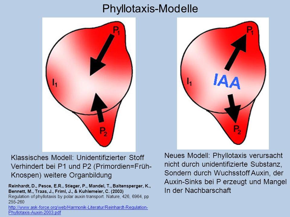 Phyllotaxis-Modelle Klassisches Modell: Unidentifizierter Stoff Verhindert bei P1 und P2 (Primordien=Früh- Knospen) weitere Organbildung Neues Modell:
