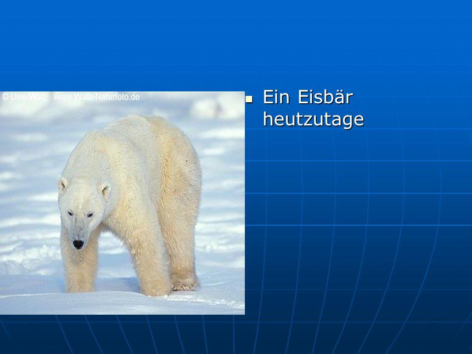 Ein Eisbär heutzutage Ein Eisbär heutzutage