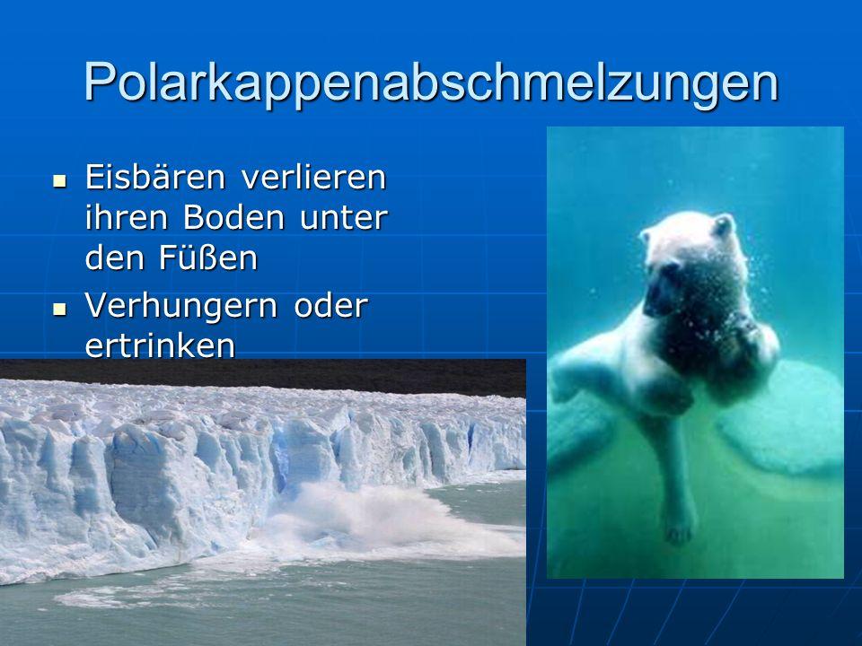 Polarkappenabschmelzungen Eisbären verlieren ihren Boden unter den Füßen Eisbären verlieren ihren Boden unter den Füßen Verhungern oder ertrinken Verhungern oder ertrinken