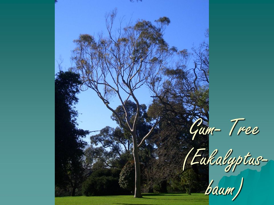 Gum- Tree (Eukalyptus- baum)
